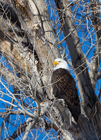 rocky mountain bighorn sheep: A bald eagle perched in a tree Stock Photo