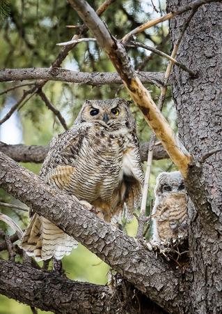 horned: Great Horned Owls