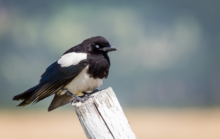 fencepost: A magpie perched on a fencepost.