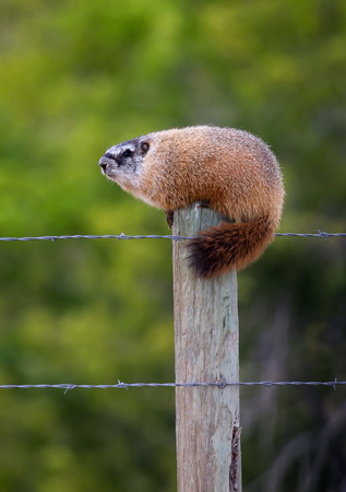 fencepost: A marmot on a fence post. Stock Photo