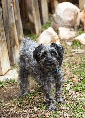 miniature breed: Un schnauzer miniatura posa para una foto.