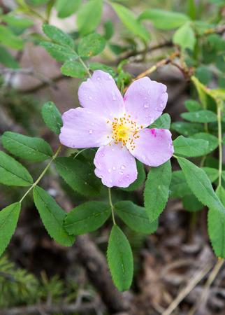 wild  rose: Wild Rose