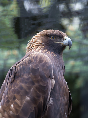 aigle royal: Un portrait d'un aigle royal.