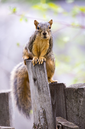 fence post: A fox squirrel peeks over a fence post.