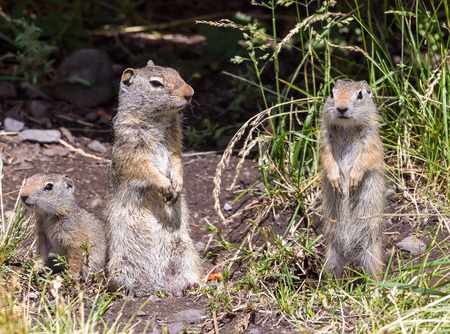 uinta mountains: A family of Uinta Ground Squirrels