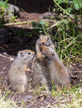 uinta mountains: Baby Uinta Ground Squirrels show affection towards their parent.