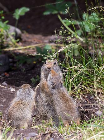 uinta mountains: Baby Uinta Ground Squirrels show affection towards their parent.