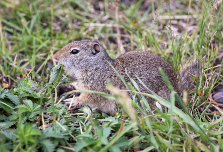 uinta mountains: A Uinta Ground Squirrel.
