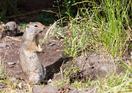 uinta mountains: A Uinta Ground Squirrel chitters to alert others to danger.