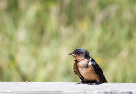 the ornithology: A baby barn swallow perched on a fence.
