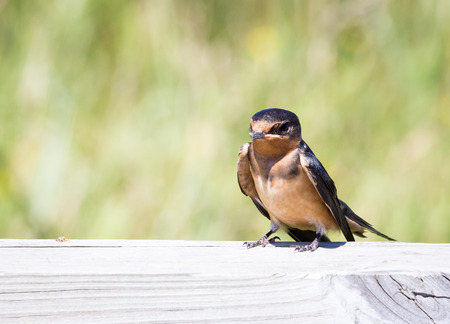 barn swallow: A baby barn swallow perched on a fence.