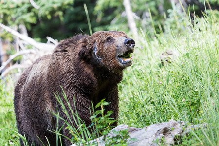 An old grizzly bear eating grass.