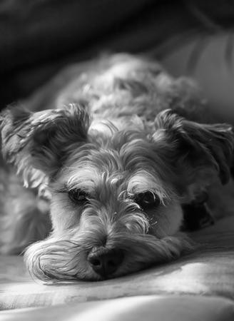 miniature breed: Un schnauzer miniatura se relaja en un sof�. Foto de archivo