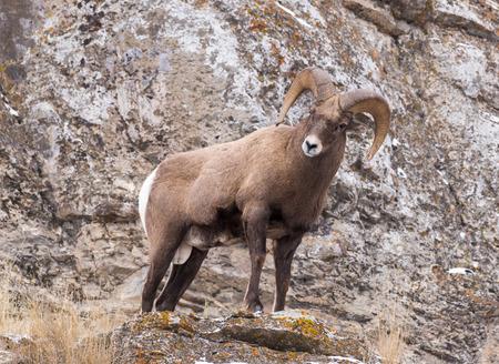 rocky mountain bighorn sheep: A bighorn sheep ram on a cliff.