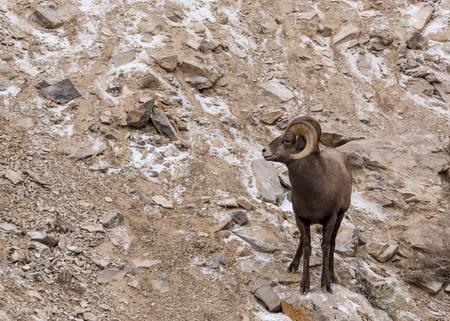 borrego cimarron: Un carnero borrego cimarr�n en un acantilado.