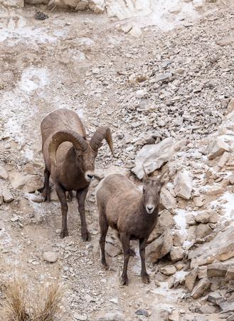 rocky mountain bighorn sheep: A bighorn sheep ram and ewe during the fall mating season.