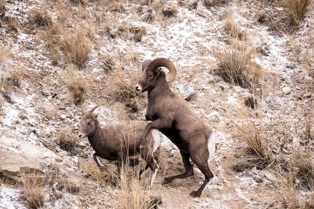 rocky mountain bighorn sheep: A bighorn sheep ram and ewe mate. Stock Photo