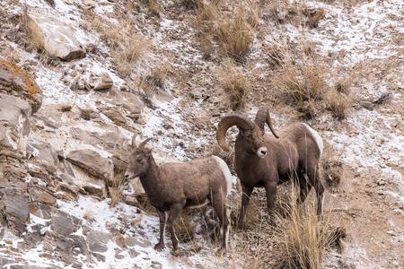 borrego cimarron: Un carnero y oveja borrego cimarr�n durante la temporada de oto�o de apareamiento. Foto de archivo