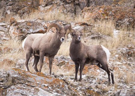borrego cimarron: Dos carneros de borrego cimarrón en una pendiente rocosa.