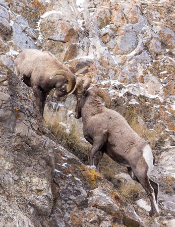 borrego cimarron: Dos carneros de borrego cimarr�n luchan en un acantilado durante la temporada de oto�o de apareamiento. Foto de archivo