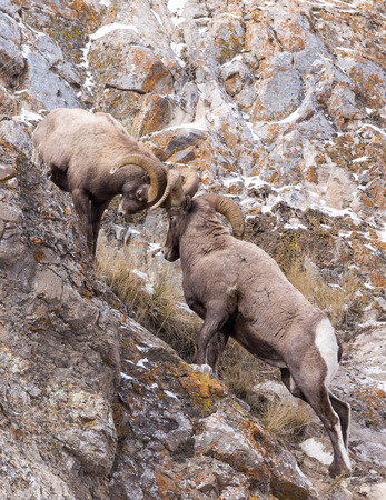 sheep eye: Two bighorn sheep rams fight on a cliff during the fall mating season.
