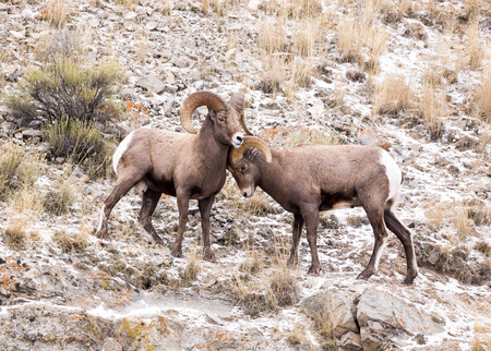 bighorn sheep: One bighorn sheep pushes another during the fall mating season