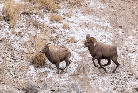 borrego cimarron: Un carnero borrego cimarr�n persigue una oveja durante la temporada de oto�o de apareamiento. Foto de archivo