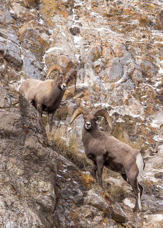 borrego cimarron: Dos carneros de borrego cimarr�n en una pendiente rocosa.
