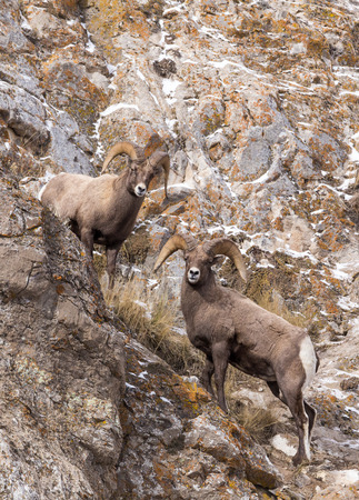 rocky mountain bighorn sheep: Two bighorn sheep rams on a rocky slope.