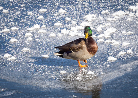 drake: A drake mallard walks on ice.
