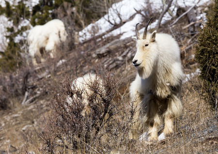 nanny goat: A mountain goat looking for food.