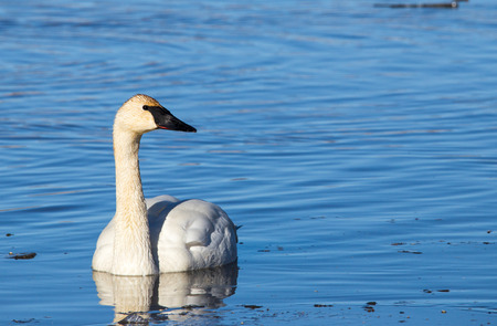 trumpeter swan: A trumpeter swan swimming in the water. Stock Photo