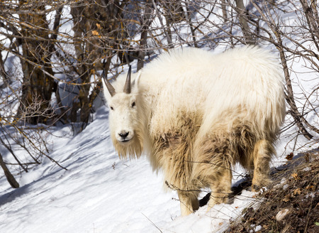 A mountain goat in the snow.