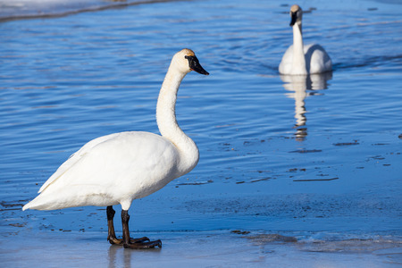 trumpeter swan: A trumpeter swan standing on ice. Stock Photo