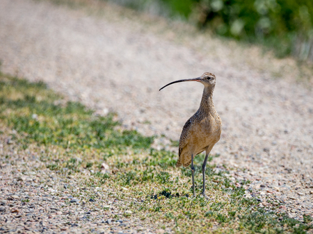 A long billed curlew