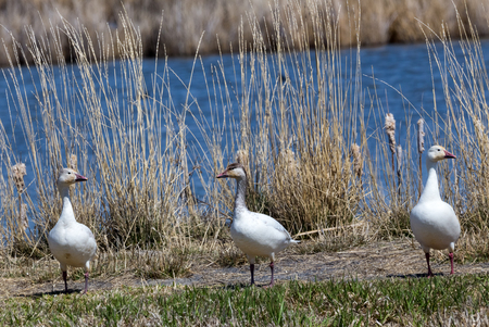 Snow geese stand on the shore of a lake.