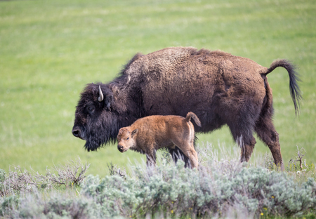 A bison mom and her calf.