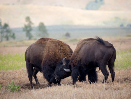 Two bison fighting during the rut. Stockfoto