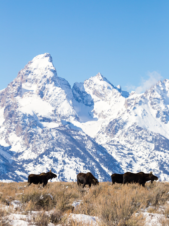 Bull moose stand in front of the Grand Teton.