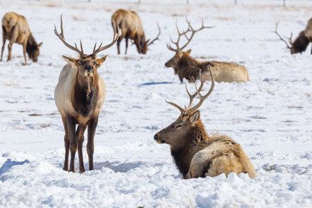 Two bull elk on the National Elk Refuge in Jackson, Wyoming.