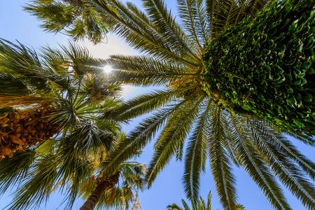 Exotische Palmen mit großen grünen Blättern, mit strahlenden Sonne und blauen Himmel im Hintergrund, Foto von unten getroffen, ultra Weitwinkel Blick