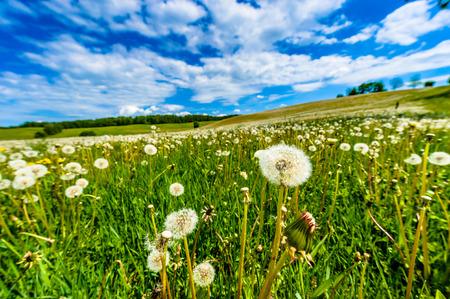 Frühlingslandschaft mit Wiese voller Schlag -Kugeln, Löwenzahn, im Hintergrund blauer Himmel und weiße Wolken sichtbar