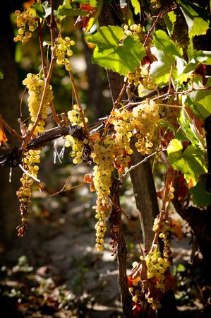 Reife Trauben von weißen Trauben am Weinstock Busch, vor Ernte im Herbst