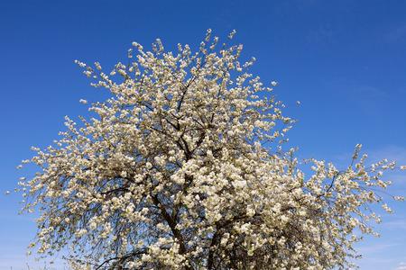 Obstbaum - fröhlich Baum - die im Frühjahr blüht mit sichtbaren weißen Blumen, im Hintergrund blauen wolkenlosen Himmel