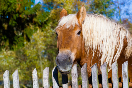Head of brown horse with white mane against old wooden fence background, visible broadleaved trees  photo