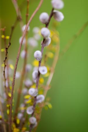 Graue und weiße Kätzchen vor grünem Hintergrund, sichtbare gelbe Blüten und braune Zweige, selektiven Fokus