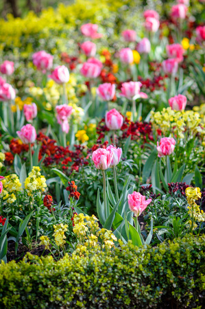 Spring photo of fragment of flower bed with pink tulips and green plants in park or garden, DOF, vertical frame  photo