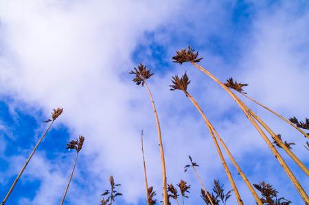 Getrocknete Schilf erschossen im Winter gegen blauen Himmel Hintergrund, sichtbare weiße Wolken. Standard-Bild