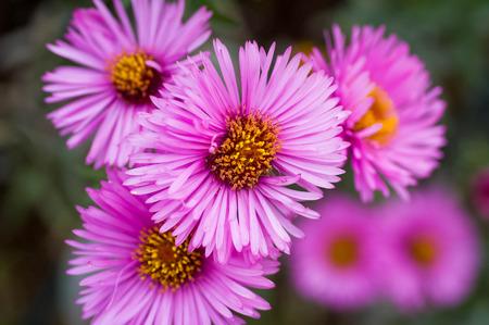 Rosa Chrysanthemen in Haufen, sichtbare Blüten, gelber Mitte und grünen Blättern.