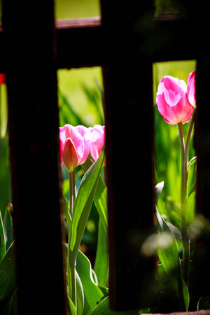 Frühling Foto von zwei rosa Tulpen von hinten Holzzaun Boards, gegen grüne Gras Hintergrund sichtbar.